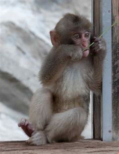 Baby Japanese Macaque Eating Leaves