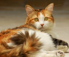 China the calico cat