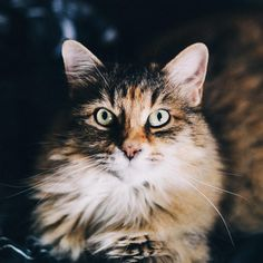 Handsome fluffy cat