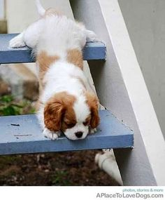 King Cavalier Spaniel puppy via www.APlaceToLoveDogs.com