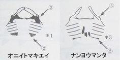 http://www.onsenmaru.com/fish/F-450/F-498-nanyoumanta.htm