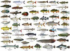 Tropical Freshwater Fish, Freshwater Aquarium Fish, Tropical Fish, Fish Anatomy, Cichlid Aquarium, Fish Aquariums, Monster Fishing, All Fish, Types Of Fish