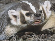 American Badger Snarling and Showing Showing its Long, Digging Claws, Taxidea Taxus, North America Photographic Print by Adam Jones at AllPosters.com