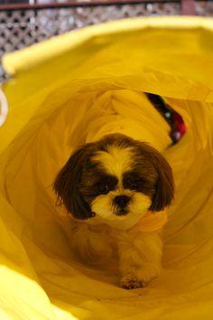 ぺぺくん/ホテル内ドッグランにて/わんわんパラダイスさんのドッグランは楽しくてたくさん遊びました。トンネルをくぐると大好きなパパが待ってるよ!