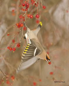 Bohemian Waxwing by Les-Piccolo on deviantART
