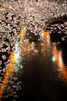 Cherry blossom trees overlooking the water, Japan.