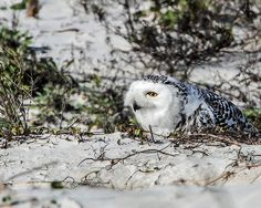 Rare Florida Snowy Owl | da minds-eye