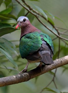 Emerald Dove (Chalcophaps indica)   by Zakir Hassan