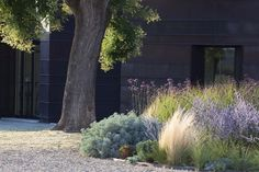 modern meadow garden inspiration - plantings of ornamental grasses and mixed flowers (Miscanthus, Stipa, Festuca, Verbena, Euphorbia).