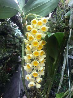 Dendrobium Orchids, Plants, Flowers, Plant, Planets