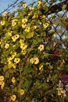 Love these actinidia kolomikta variegated kiwi vine garden vines for your arbor mightylinksfo Image collections