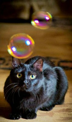 Black cat with bubbles. All Black Cat, Black Cats, Black Kitty, Crazy Cat Lady, Crazy Cats, I Love Cats, Cool Cats, Baby Animals, Cute Animals