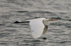 Great Egret skimming over the sea Photo by Zita Hurrell — National Geographic Your Shot