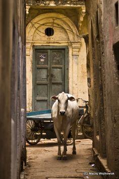 Holy city - Holy cow  Quem gostaria de ser vaca na India