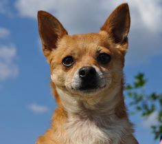 Spring. TX Meet Paco, an adoptable Chihuahua looking for a forever home. Paco...such a cutie! He was found as a stray by a very nice lady, who contacted us for help to find him a new home https://www.petfinder.com/petdetail/26245479/