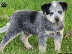 blue heeler puppies for sale in ohio