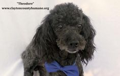 Meet Theodore, an adoptable Poodle Dog | Jonesboro, GA | NEW DOG AT THE SHELTER!Visit www.claytoncountyhumane.org  for pet information or call the Clayton...