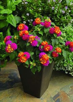 Lantana, Bandana: Cherry Sunrise - Great for container gardening, hanging baskets, window boxes Outdoor Flowers, Outdoor Plants, Lawn And Garden, Garden Pots, Jardin Decor, Container Flowers, Dream Garden, Flower Pots, Flowers In Planters