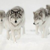 A gallery of timber wolf images and Arctic wolf images, many published in Canadian Geographic. Wolf prints available as fine art prints, canvas and metal Wolf Photography, Wildlife Photography, Wildlife Protection, Alaskan Husky, Cat Vs Dog, Arctic Wolf, Timber Wolf, Wolf Pictures, Mule Deer