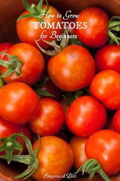 Before you plant tomatoes, check these 10 best tips to make sure you don't make big mistakes. See what you need to grow delicious heirloom and hybrid tomatoes.
