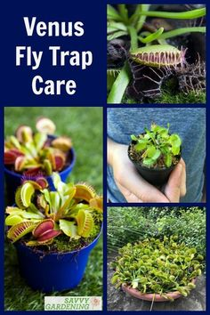 Venus fly traps are a unique carnivorous plant with special care requirements. Learn all the ins and outs of Venus fly trap care, including the best growing medium to use, watering techniques, tips for feeding your plant, and - most importantly - advice on how to treat the plants during their natural dormancy. #carniverousplants #gardening Garden Insects, Garden Pests, Unique Plants, Cool Plants, Organic Gardening, Gardening Tips, Venus Fly Trap Care, Plant Diseases, Fly Traps