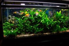 Vibrant & healthy planted South American Cichlid tank.
