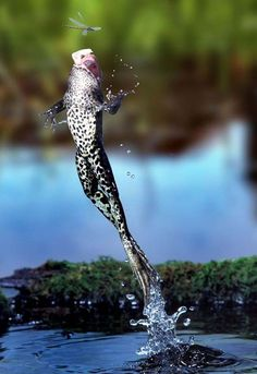 Astonishing shot of frog leaping for his lunch