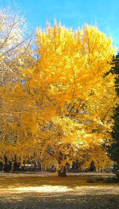 Ginkgo Tree in the Fall in North Louisiana