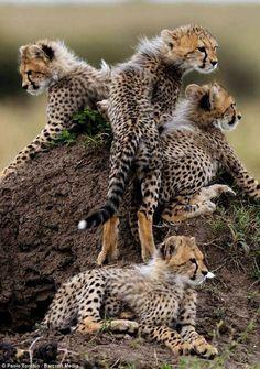 Cheetahs If the Oak Ridge Boys were baby Cheetahs.If the Oak Ridge Boys were baby Cheetahs. The Animals, Nature Animals, Cute Baby Animals, Wild Animals, Nature Nature, Wild Nature, Beautiful Cats, Animals Beautiful, Beautiful Pictures