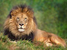 He is truly Magnificent. Izu in Lion Camp. San Diego Zoo Safari Park, April 26, 2014 Izu_25Q8777