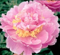 Peony Lois E. Quality Lois E. Klehm Roots at Peony Shop Holland Song Sparrow, Peonies Garden, Candy Stripes, Happy Marriage, Clematis, Shrubs, Flower Power, Perennials, Tulips