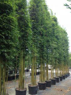 Graceful Weavers Bamboo | Bambusa textilis 'Gracilis', Graceful Bamboo, Weaver's Bamboo