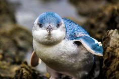 The little penguin also known as the little blue penguin is the smallest species of penguin in the world.