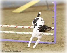 Picture of Poe, a male Rat Terrier, running the agility course