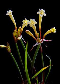 Cyrtanthus [Cyrtanthus obrienii × Cyrtanthus ochroleucus] Hybrid Cultivar - by HIRO.M.
