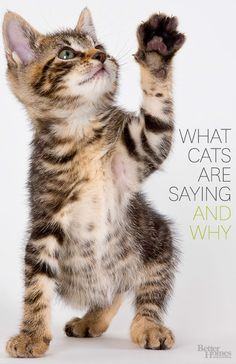 Ever wonder what your cat is trying to tell you? Click here to find out: http://www.bhg.com/pets/cats/cat-behavior/what-cats-are-saying-and-why/?socsrc=bhgpin100614whatcatsaresaying