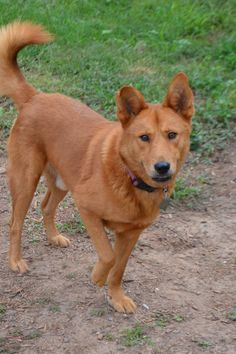 Meet Riley, an adoptable Shepherd looking for a forever home. If you're looking for a new pet to adopt or want information on how to get involved with adoptable pets, Petfinder.com is a great resource.