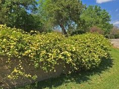 Plants for Dallas - Your Source for the Best Landscape Plant Information for the Dallas-Ft. Worth MetroplexBest Vines for Dallas, Texas — Wall Climbing Plants, Climbing Vines, Vertical Vegetable Gardens, Vegetable Gardening, Container Gardening, Lady Banks Rose, Vine Fence, Fast Growing Vines, Ficus Pumila