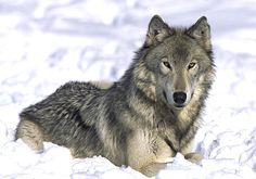 wolf pictures | Wolves are very intelligent creatures whose upright ears, sharp teeth ...