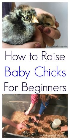 "Want to get started raising your own chickens? Here is a ""baby chicks 101"" guide to raising your own chicks! Perfect for the absolute beginner."