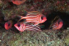 Sargocentron rubrum - Redcoat squirrelfish