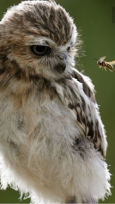 Back off Bee! I am not a flower Nature Animals, Animals And Pets, Baby Animals, Cute Animals, Beautiful Owl, Animals Beautiful, Owl Bird, Pet Birds, Burrowing Owl