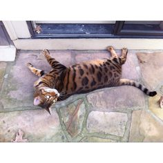 Jax is a big Jacksonville Jaquar Fan. The name tells the story. Exotic Cats, Bengal, Behind The Scenes, Fan, Note, Friends, Amazing, Animals, Amigos