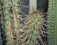 Eulychnia can survive in temps up to 50 degrees C, and in the driest places in the world, like the Atacama Desert