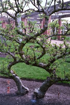 Image detail for -Espalier - trained fruit trees