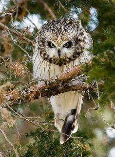 Angry Short-eared Owl by Dave Van de Laar* Owl Photos, Owl Pictures, Beautiful Owl, Animals Beautiful, Short Eared Owl, Owl Eyes, Owl Bird, Tier Fotos, Baby Owls