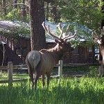 Wildlife in Ruidoso and Lincoln County New Mexico Usa, Cabin Rentals, Elk, Rocky Mountains, Lincoln, Wildlife, Vacation, Animals, Moose