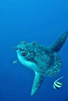Finding the rare Mola-mola in Bali.