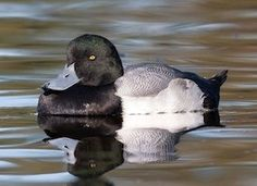 Greater Scaup. Saw at Lake Merritt, in Oakland, CA. http://www.allaboutbirds.org/guide/Greater_Scaup/id