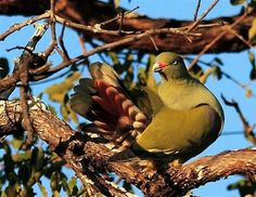 Game farms,bush houses,property for sale Hoedspruit House Property, Property For Sale, Green Pigeon, Birds, Animals, Animales, Animaux, Bird, Animal